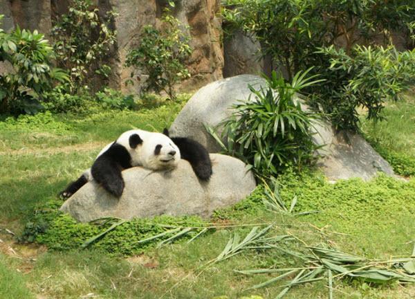 Panda in a zoo